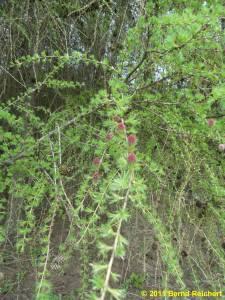 Frische Lärchenzweige mit Blütenknospen und noch weichen Nadeln, aufgenommen am 16.04.2011 zwischen Wallmow und Grünberg in der Uckermark