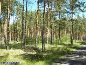 Typischer Brandenburgischer Kiefernwald