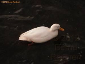 20120319-03 - Eine weiße Ente