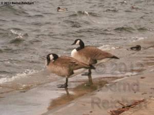 20120330-04 - Kanadagänsepaar