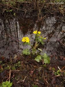 20120404-06 - Sumpfdotterblume, auf genommen im Naturschutzgebiet an der Wakenitz