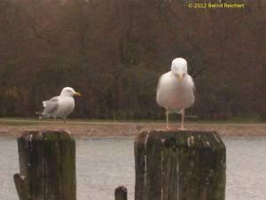 20120407-12 - Travemünde, Möwen warten auf ihre Chance