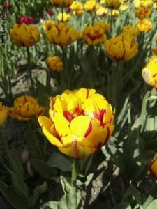20120430-07 - Britzer Garten - Tulpenfeuer