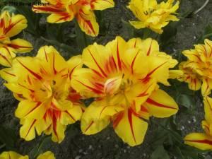 20120430-08 - Britzer Garten - Tulpenfeuer