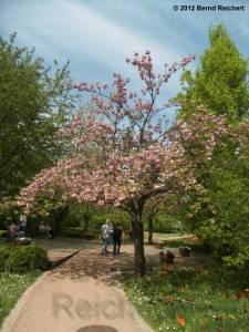 20120430-11 - Britzer Garten - Kirschblüte