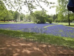 20120430-13 - Britzer Garten - Traubenhyazinten-Feld
