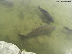 20120430-20 - Britzer Garten - Karpfen im Hauptsee