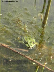 20120430-24 - Britzer Garten - Wasserfrosch