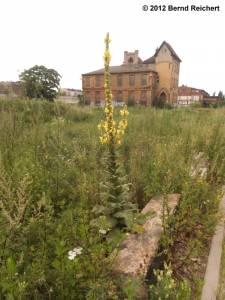 20120715-27 - Königskerze auf dem Gelände des ehemaligen Glaswerks Stralau