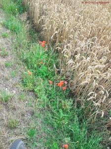 20120804-07 - Farbtupfer am Rande eines Weizenfeldes