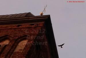 20120806-08 - Gingst, Turmfalke am Kirchturm