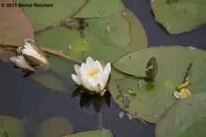 20130616-062 - Weiße Seerose