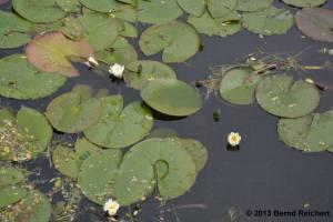 20130616-063 - Weiße Seerose