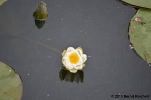 20130616-064 - Weiße Seerose