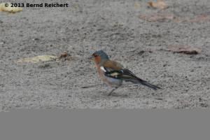 20130730-005 - Buchfink, Männchen