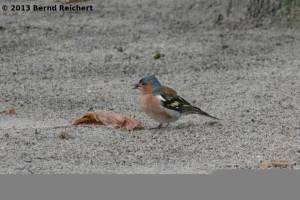 20130730-011 - Buchfink, Männchen