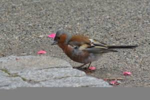 20130730-018 - Buchfink, Männchen