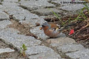 20130730-022 - Buchfink, Männchen