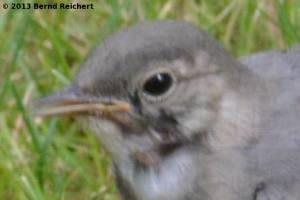 20130730-143 - Bachstelze, Jungvogel