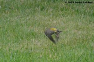 20130801-05 - Grünfink, Männchen