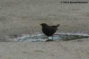 20130801-13 - Amsel, Männchen, beim Bade