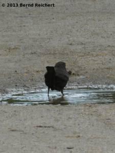 20130801-15 - Amsel, Männchen, beim Bade