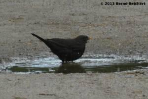 20130801-16 - Amsel, Männchen, beim Bade
