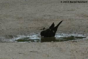 20130801-17 - Amsel, Männchen, beim Bade
