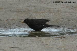 20130801-19 - Amsel, Männchen, beim Bade