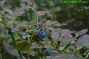 20130804-09 - Heidelbeere