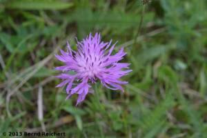 20130804-22 - Wiesenflockenblume