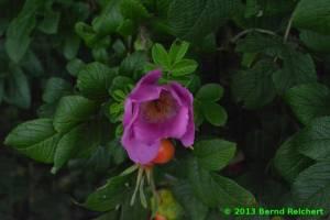 20130804-95 - Buschrose
