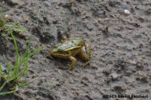 20130809-33 - Kleiner Wasserfrosch
