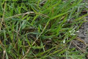 20130809-34 - Kleiner Wasserfrosch