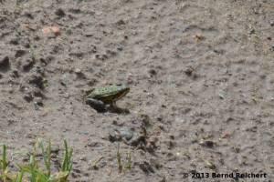20130809-35 - Kleiner Wasserfrosch