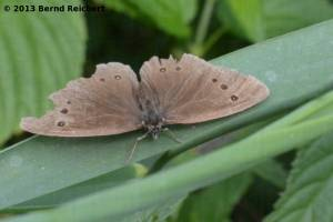 20130809-82 - Brauner Waldvogel