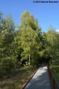 20130929-2 - Hängebirke
