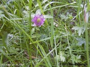 19980524-10 - Rotklee
