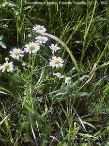 19980530-08 - Geruchlose Kamille