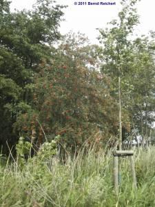 20110724-31 - Eberesche