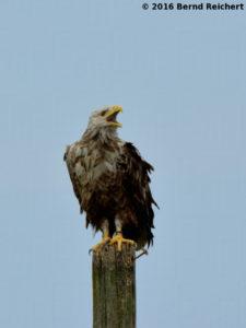 Seeadler an der Südostspitze des Großen Wotig